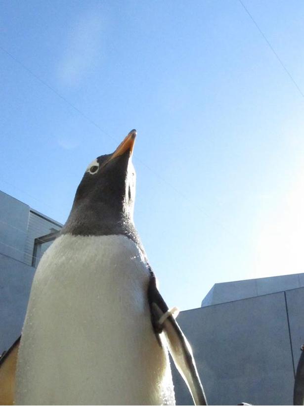 【写真を見る】凛々しい表情も魅せるオウサマペンギン