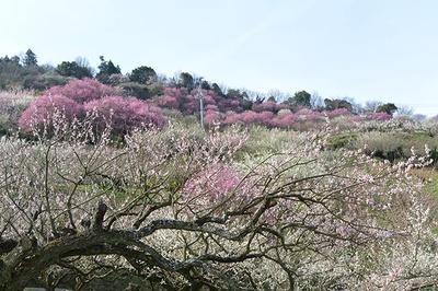 約30種類1万6000本の梅が咲き誇る会場の様子