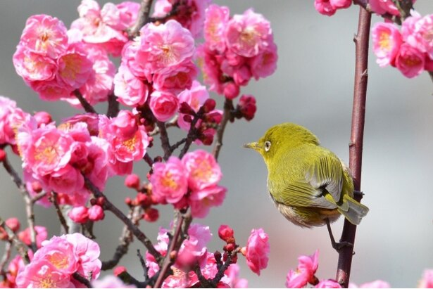 【写真を見る】石橋文化センター春の花まつり2019 梅まつり / 140本の梅の木が赤や白の色に咲き誇る
