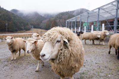 「羊のふれあい牧場」でショーンと同じサフォーク種と触れ合う