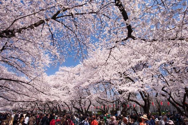 「上野恩賜公園」のお花見(上野)