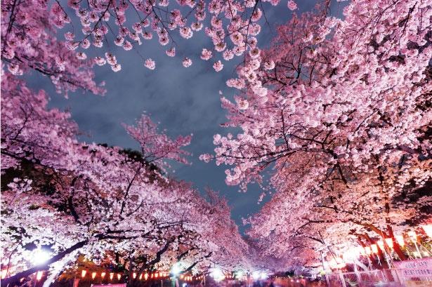 【写真を見る】夜桜とぼんぼりの灯りが共演!昼とは異なる幻想的な景色にうっとり/上野恩賜公園