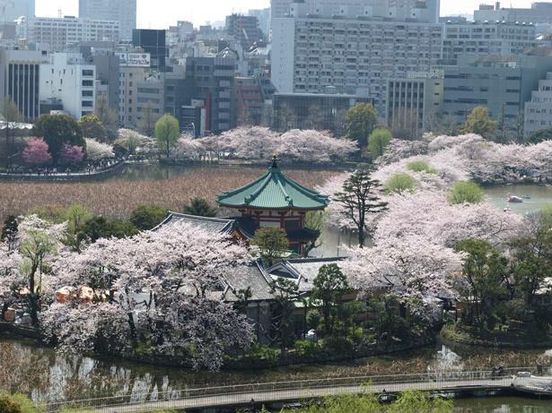不忍池の中之島にある弁天堂周辺も桜が見事!/上野恩賜公園