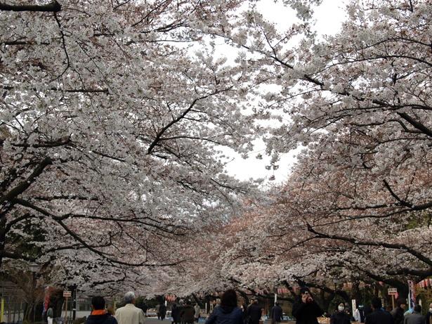 桜通りには昼夜を問わず多くの人が/上野恩賜公園