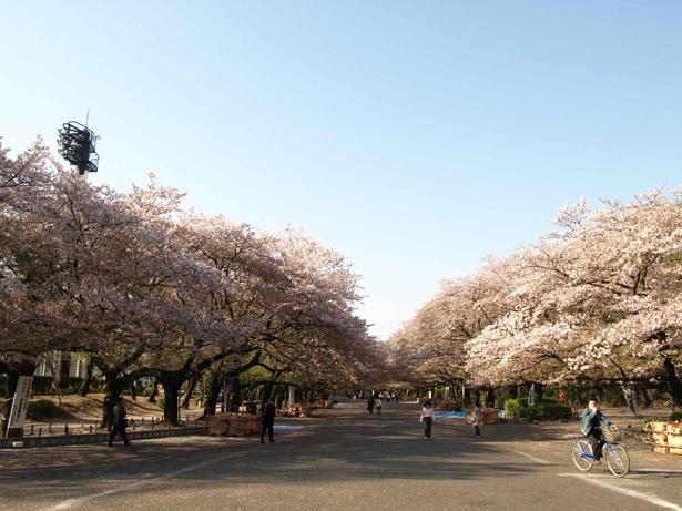 見渡す限り続く、桜のアーチに感動!/上野恩賜公園