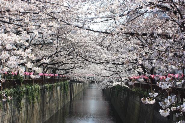 「目黒川」のお花見(中目黒)