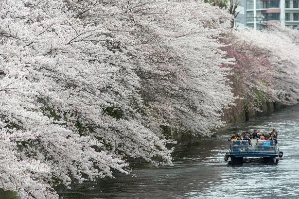 クルーズ船から眺める桜も格別の美しさ/目黒川