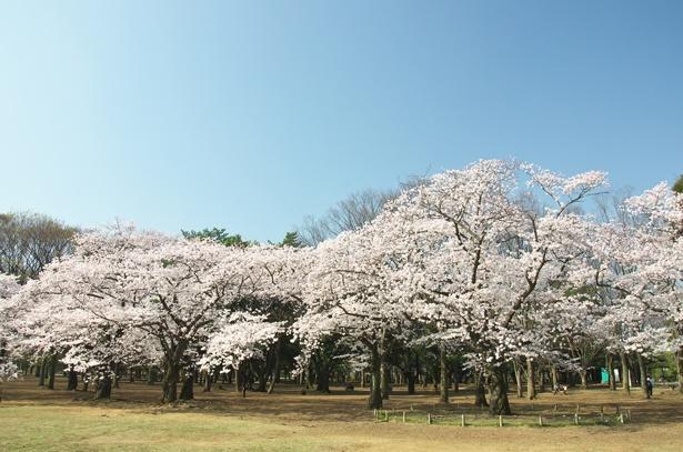 「代々木公園」のお花見(原宿)