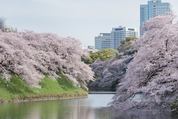 水面に枝を伸ばして豪快に咲き誇る桜がつらなり、思わず目が奪われる/千鳥ヶ淵