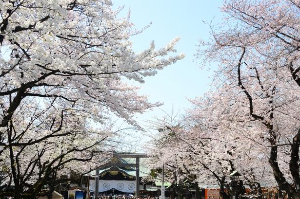 「靖国神社」のお花見(九段下)