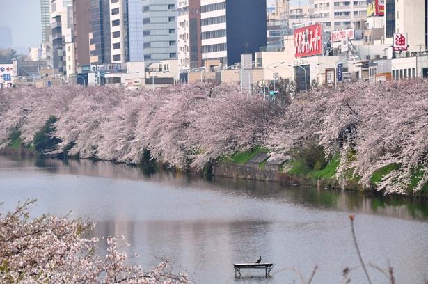 「外濠公園」のお花見(飯田橋)