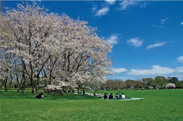 「水元公園」のお花見(葛飾)