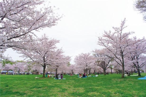 「舎人公園」のお花見(舎人公園)