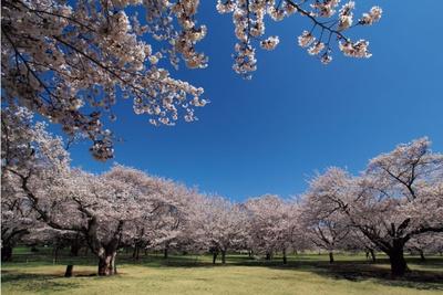 園内のほぼ中心に広がる「みんなの原っぱ」の北側にある「桜の園」。「花木園」の桜もきれい/国営昭和記念公園
