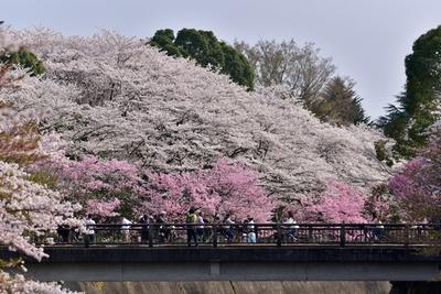 「ふれあい橋」と「さくら橋」の間も見事な美しさ。散策しながらゆっくり鑑賞して/国営昭和記念公園