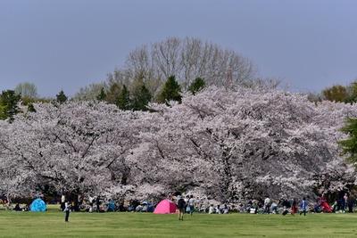 桜が見頃を迎える時期には、多彩なイベントも実施される/国営昭和記念公園