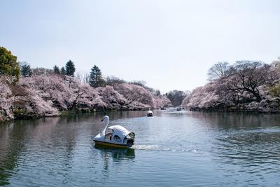 池の周りには約250本もの桜が枝を広げ、息をのむほど美しい/井の頭恩賜公園