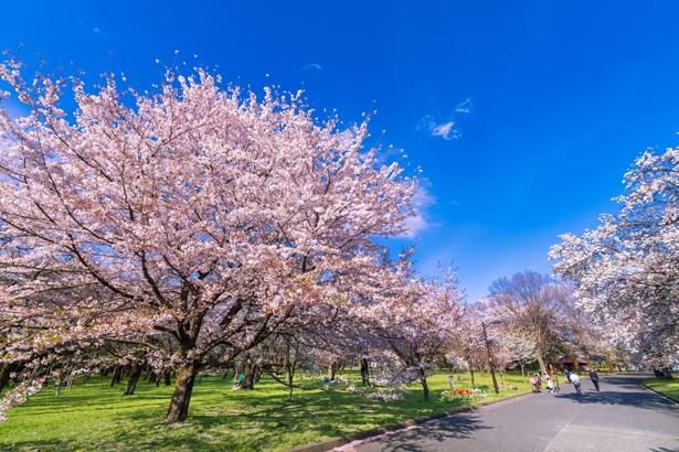約50種の桜が次から次へと開花。品種が多く、桜の時期が長いのも魅力/小金井公園