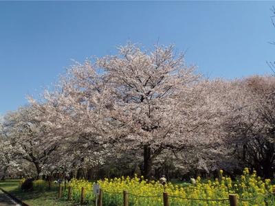 ベニシダレの濃いピンク色と、菜の花の黄色のコンビネーションが美しい/小金井公園