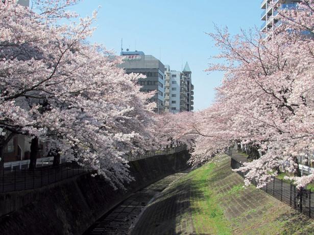 川の両岸から枝がせり出して見事な光景に。遊歩道が整備されている/乞田川沿いの桜