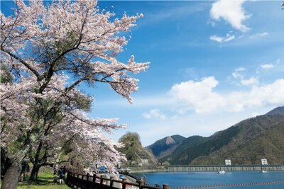 湖の周りに桜が咲く。自然に囲まれ都心とはひと味違うお花見を/奥多摩湖
