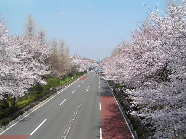 約1.2km続く桜並木が美しい、国立市の「大学通り」。ビルが少ないのも魅力の1つ