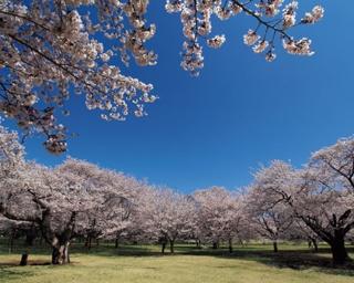 自然豊かな名所がずらり!東京郊外のお花見スポット9選