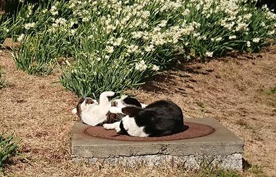 仲良しの2匹のネコでごろごろ。日向ぼっこが気持ちいニャ~