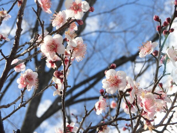 大宮第二公園で3月17日まで第35回梅まつりが開催中