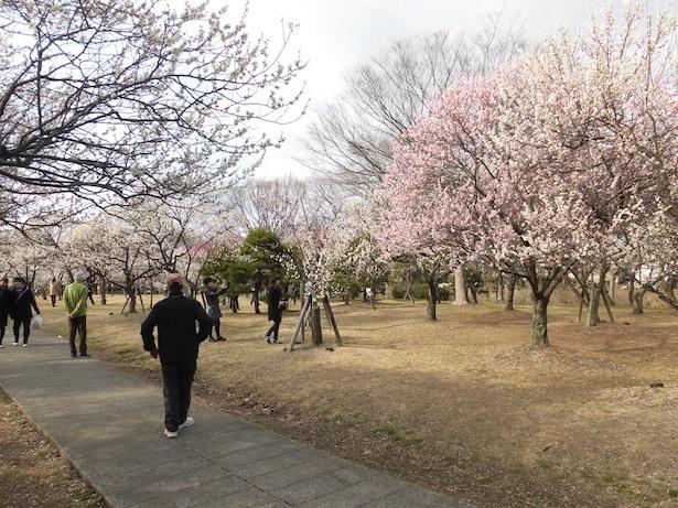 【写真を見る】八重寒紅梅、白加賀など40品種・約500本の梅が咲き誇る