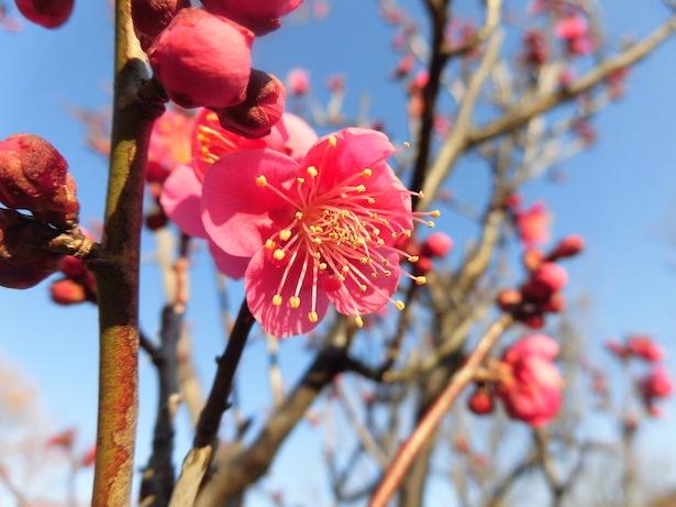 梅の品種のひとつ「紅千鳥」