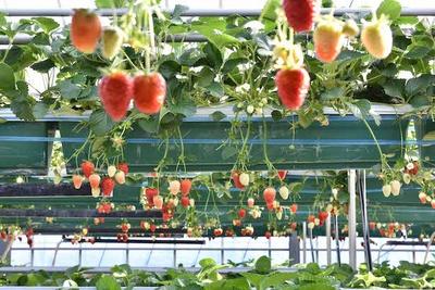 高設栽培されるいちご
