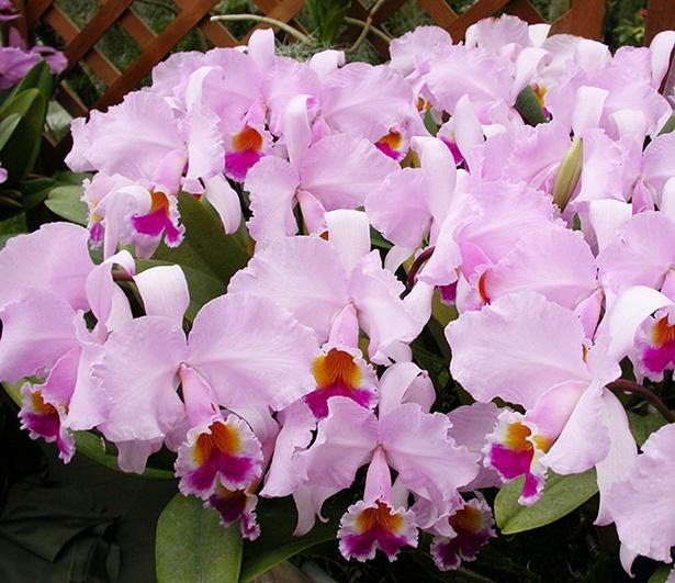 鮮やかなピンクが特徴の「カトレヤ」。一足早い春を感じさせてくれる