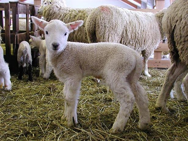 【写真を見る】愛らしい子羊の姿に思わず顔がほころぶ