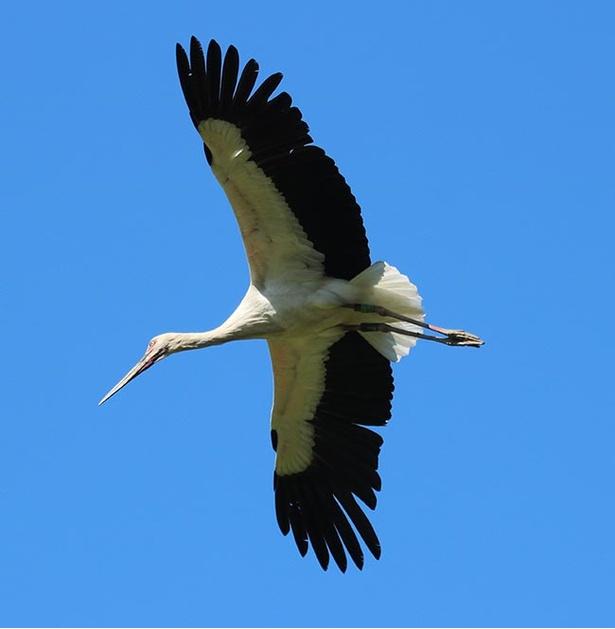 【写真を見る】コウノトリは長い旅をすることで有名。体長は110~115センチと大柄