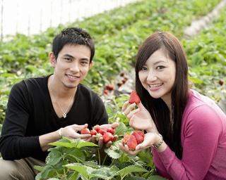 時間無制限・食べ放題プランが人気!茨城県鉾田市・深作農園のいちご狩り