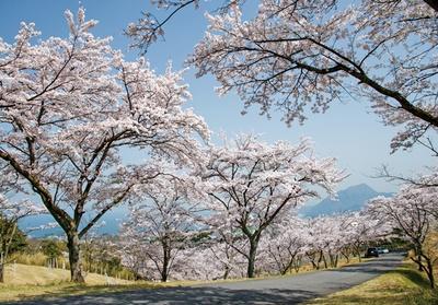 【写真を見る】扇山さくらの園 / 別府市街、別府湾、桜並木を一度に望める絶景。知る人ぞ知る桜名所だ