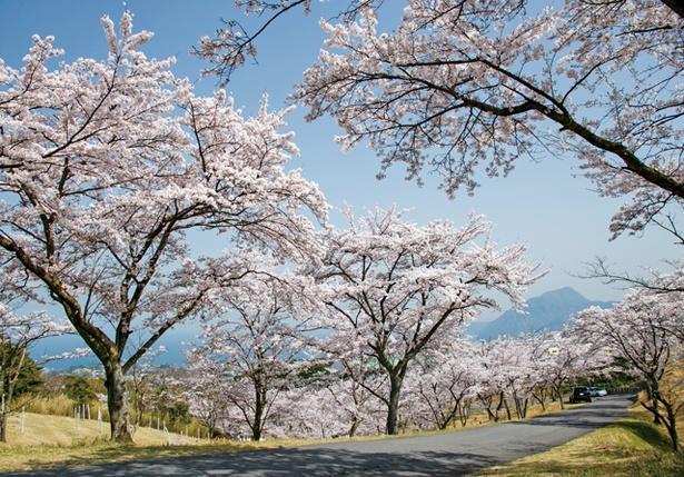 「扇山さくらの園の桜」のお花見(別府市鶴見大平)