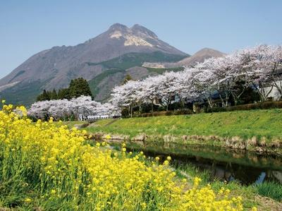 大分川沿い / 川の両岸にある桜並木。由布岳の景観に桜と菜の花が優しい彩りを添える