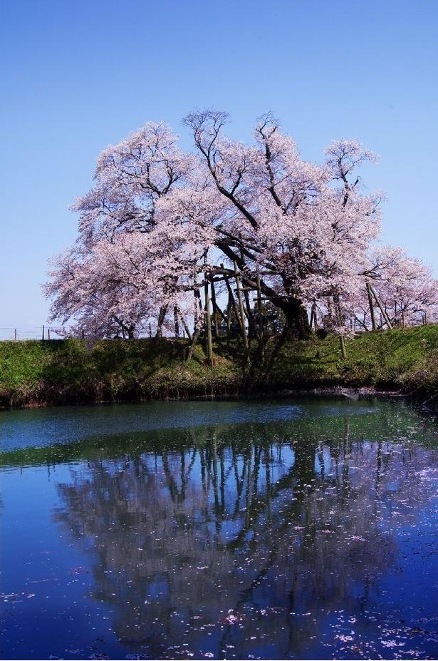 ため池の水面に桜が映る