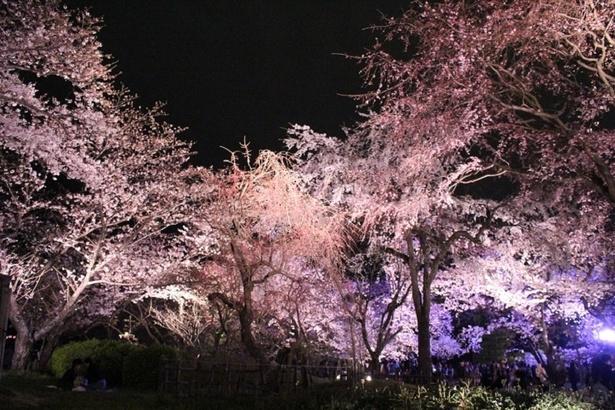 ライトアップで浮かび上がる桜