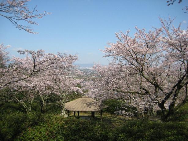 桜と共に景色を楽しむことができる