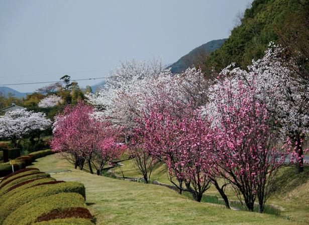 金立公園 / ハナモモと桜の見事なコラボ。濃さの異なるピンクのグラデーションがキレイ