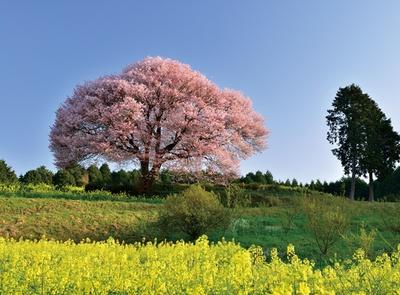 馬場の山桜 / モフモフとした花をまとう見事な一本!青×ピンク×黄色の感動ビュー