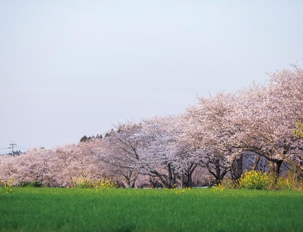 垂水公園 / 桜のトンネルを車で進み、丘の上の公園へ