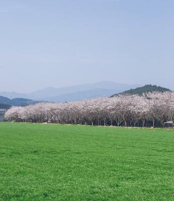 【写真を見る】牧場の桜 / 花びら舞う桜のトンネルは、草原の緑との対比でより美しく