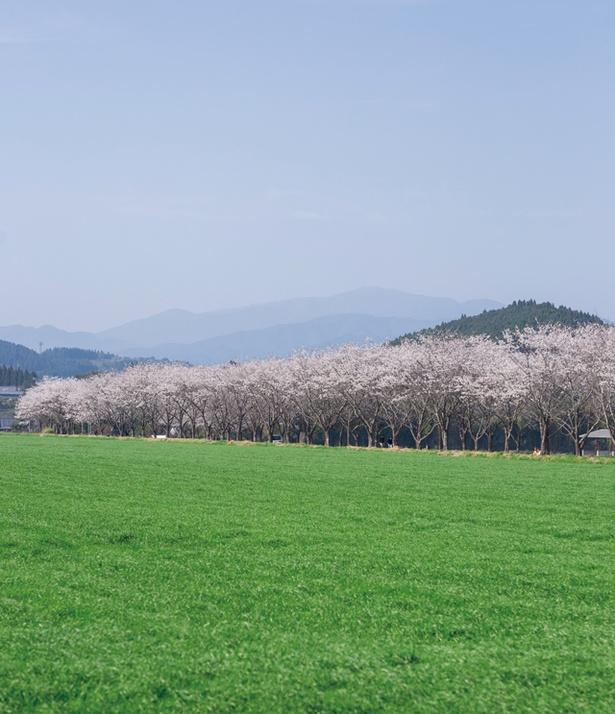 「牧場の桜」のお花見(小林市細野)