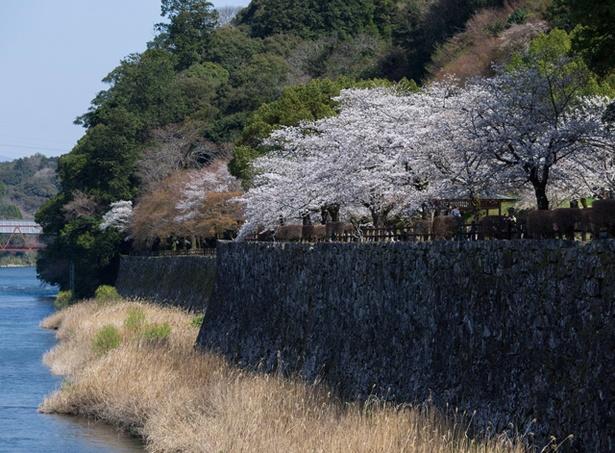 人吉城跡 / 橋の上から見た人吉城跡の桜。石垣のグレーと桜のピンクのコントラストが鮮やか