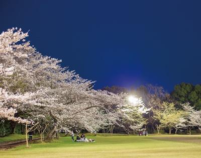 丸岡公園 / 芝生広場をはじめ、シートを広げて桜観賞ができる場所が多数ある