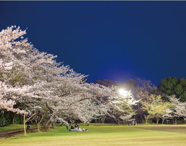 「丸岡公園の桜」のお花見(鹿児島県霧島市横川町上ノ)